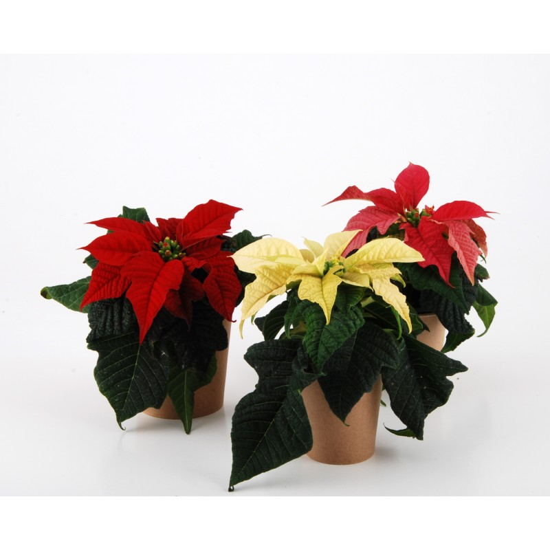 Poinsettia plante id ale pour une communication originale for Plante de noel