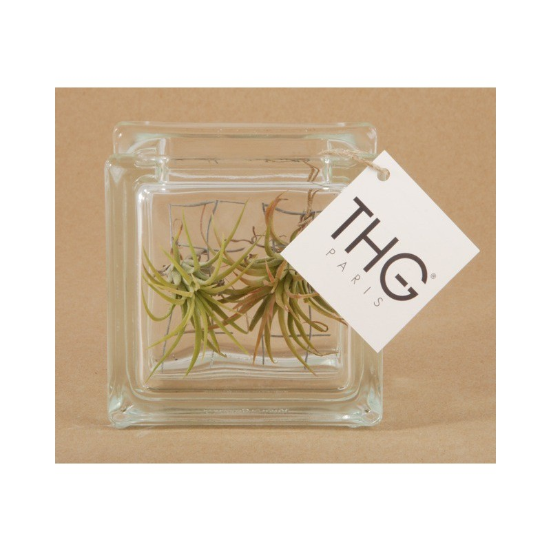 Un tillandsia en cadeau personnalis for Plante fille de l air
